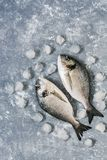 Raw fish with ice on a gray background. Vertical frame, top view. Fresh dorado fish.Place for your text. Raw fish with ice on a gray background. Vertical frame Stock Images