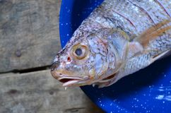 Raw fish ready for cooking. On a blue dish stock image