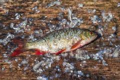 Raw fish rudd on old cutting board Royalty Free Stock Photos