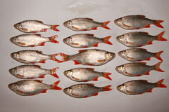 Raw fish rudd Stock Photos