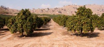 Free Raw Food Fruit Oranges Ripening Agriculture Farm Orange Grove Royalty Free Stock Image - 47407876