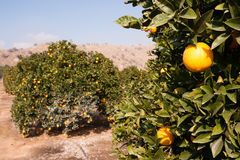 Raw Food Fruit Oranges Ripening Agriculture Farm Orange Grove Stock Photo