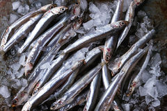 Raw fresh anchovies fishes. Lot of raw fresh anchovies fishes on crushed ice over old dark metal background. Top view. Sea food background theme Royalty Free Stock Photo