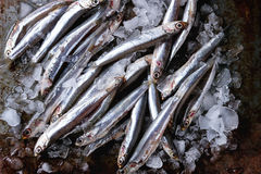 Raw fresh anchovies fishes Stock Photography
