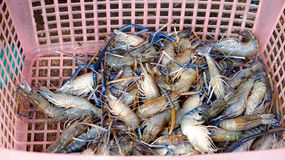 Raw fresh BBQ river prawns in basket Royalty Free Stock Photo