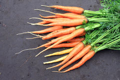 Raw fresh carrots with tails on natural background Royalty Free Stock Photography