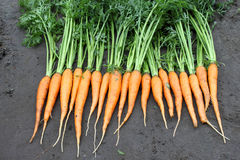 Raw fresh carrots with tails on natural background Stock Photography
