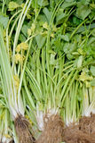 Raw and fresh celery Royalty Free Stock Photography