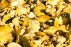 Raw fresh chanterelle mushroom background. Cantharellus cibarius or girolle fungus.  Stock Photos
