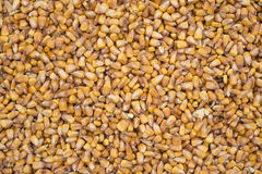 raw fresh  corn texture background Stock Images