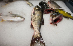 Raw Fresh Fish Chilling on Bed of Cold Ice in Market. Raw Fresh Fish Chilling on Bed of Cold Ice in Seafood Market Royalty Free Stock Photos