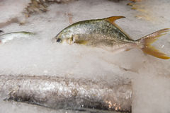 Raw Fresh Fish Chilling on Bed of Cold Ice. In Seafood Market Royalty Free Stock Photo