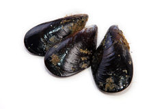 Raw fresh mussels Stock Images