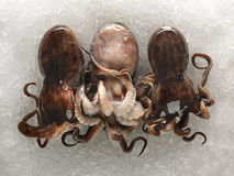 Raw and fresh octopus tentacles photographed on ice. Complete raw and fresh octopus with head still on photographed on ice Stock Image