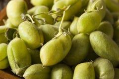 Raw Fresh Organic Green Garbanzo Beans Royalty Free Stock Photography