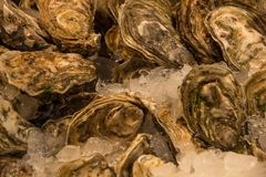 Raw and fresh oysters, on ice. Seafood, a delicacy for the palate. N stock image