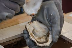 Raw and fresh oysters. Seafood, a delicacy for the palate. Raw and fresh oysters. A North Seafood, a delicacy for the palate and rich in vitamins stock image