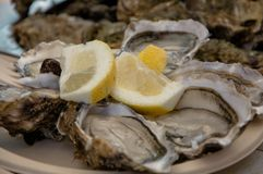 Raw and fresh oysters. Seafood, a delicacy for the palate. Raw and fresh oysters. A North Seafood, a delicacy for the palate and rich in vitamins royalty free stock image