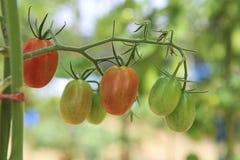 Raw fresh tomato at garden Royalty Free Stock Photos