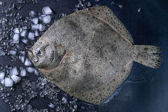 Raw fresh tuna fish. Raw fresh whole flounder fish on crushed ice over dark wet metal background. Top view with space Royalty Free Stock Photo