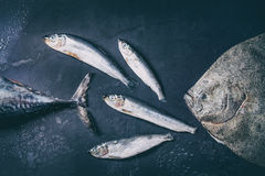 Raw fresh tuna, herring and flounder fish. Over dark wet metal background. Top view with space Stock Images