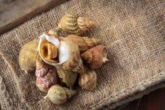 Raw fresh whelks Royalty Free Stock Image