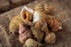 Raw fresh whelks Royalty Free Stock Photos