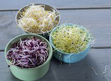 Raw fresh young organic sprouts of leek, alfalfa and red reddish. In bowls Royalty Free Stock Photo