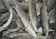 Raw frozen fish freshwater pike closeup Royalty Free Stock Photos