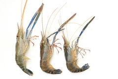 Raw giant freshwater prawn Stock Photos