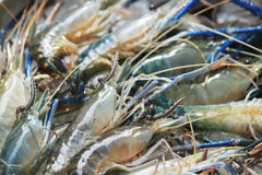 Raw giant freshwater prawn Royalty Free Stock Image