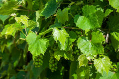 Raw grapes. Hanging on vine Royalty Free Stock Photos