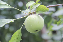 Raw green apple on branch Stock Images