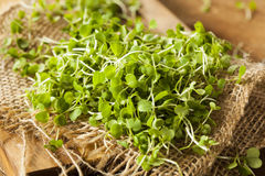 Raw Green Arugula Microgreens. On a Background royalty free stock image