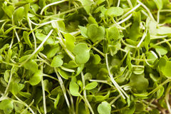 Raw Green Arugula Microgreens. On a Background royalty free stock photos