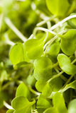 Raw Green Arugula Microgreens. On a Background stock photography