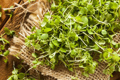 Raw Green Arugula Microgreens Royalty Free Stock Image