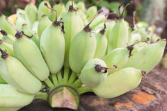 Raw green banana in the garden. Royalty Free Stock Image