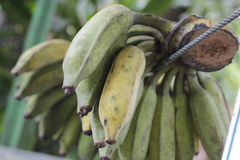 Raw green bananas. Are hanged on rope Royalty Free Stock Photo