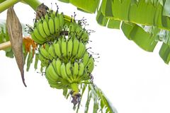 Raw green bananas are on the tree. Royalty Free Stock Images
