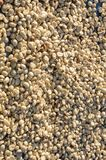 Raw green coffee beans drying in the sunlight. Royalty Free Stock Photography