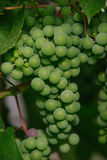 raw green grapes Royalty Free Stock Photo