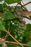 raw green grapes Royalty Free Stock Image