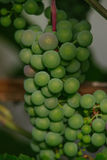 raw green grapes Stock Images
