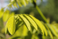 Raw green locust tree leaves in focus. Focus on the raw green leaves of a locust tree stock photos
