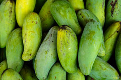 Raw or green mango fresh from garden. Raw or green mangoes fruit fresh from garden showing natural scar and sap Royalty Free Stock Image