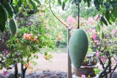 Raw green mango on the tree in garden. Raw green mango on the tree in home garden Royalty Free Stock Photo