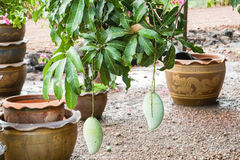 Raw green mangoes on the tree in home garden Royalty Free Stock Photo