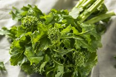 Raw Green Organic Broccoli Rabe. Ready to Cook Stock Photos
