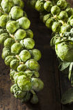 Raw Green Organic Brussel Sprouts. On the Stalk Stock Photos